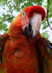 I'm Not Polly (PelicanPete) Tags: keys unitedstates florida fullframe macaw floridakeys southflorida straighton islandchain beautyofcolor