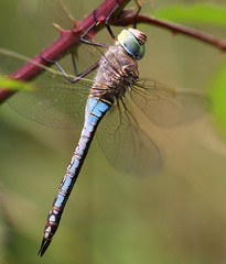 """Anax parthenope"" - zuidelijke keizerlibel ( female ) (bugman11) Tags: blue macro nature animal animals fauna canon bug insect niceshot dragonflies dragonfly nederland thenetherlands insects bugs 1001nights autofocus platinumheartaward 100mm28lmacro 1001nightsmagiccity mygearandme mygearandmepremium ringexcellence allnaturesparadise"