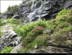The ubiquitous Alpenrose, Riffelalp, Zermatt (robin denton) Tags: mountains alps switzerland suisse swiss zermatt alpen wallis ch valais alpenrose sweiz mountainslandscape mountainphotography