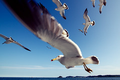 in the air. (Helvetica60kg) Tags: blue sea sky bird eye animal japan island fly wildlife seagull gull horizon wide wing july 2012