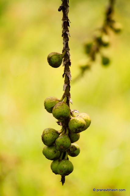 Wild Fruits At Periyar Tiger Reserve, Thekkady