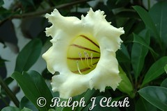 Cup of Gold Vine (Ralph J Clark) Tags: flowers barbados cupofgoldvine
