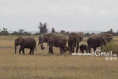 /Amboseli National Park (mR.Son.Photo) Tags: africa elephant safari amboseli   amboselinationalpark   republicofkenya