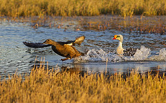 King Eider (Eleanor Briccetti) Tags: usa bird alaska northamerica kingeider prudhoebay somateriaspectabilis eleanorbriccetti