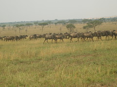 Group of wildebeest on a plain in Kenya (Real Africa) Tags: africa wild tanzania kenya running safari herd grazing wildebeest wildebeestmigration safarianimal migrationmasimara
