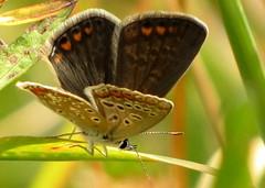 ezsts boglrka / Silver-studded Blue (debreczeniemoke) Tags: summer female butterfly meadow lycaenidae nyr plebejusargus silverstuddedblue pillang plebeiusargus lepke rt argusbleu argusbluling petitargus azurdelajonc nstny ezstsboglrka geiskleebluling canonpowershotsx20is boglrkalepkk