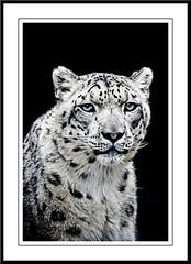 Snow Panther (sergio.pereira.gonzalez) Tags: animal photoshop felino animaux fiera lightroom flin felin fauve snowpanther canon400d pantheredesneiges panteradelasnieves flickrbigcats sergiopereiragonzalez httpfocale3fr