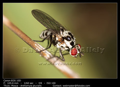 Fly - dipterous (__Viledevil__) Tags: detail macro nature animal closeup bug insect outside outdoors fly flying wings eyes close wildlife small wing posed insects flies winged invertebrate entomology pluvialis anthomyia dipterous