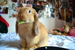 """This be mine, not yours, Mummy!"" (mylo_rabbit) Tags: morning pet baby cute rabbit bunny love face animal breakfast relax snuggle ginger yummy bed eyes friend funny yum eating expression lol sunday adorable ears eat snooze companion hehe mylo lay noms breakfastinbed houserabbit lop minilop nomnomnom noming"