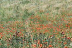 Mohnfeld (Berlintapete.de) Tags: flowers abstract flower color art nature field garden landscape graphic wiese blumen poppy blume landschaft mohn blumenwiese mohnfeld radomski fototapete berlintapete