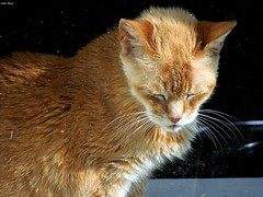 Gato del Día (Eddy Allart) Tags: red summer orange sun holland sol netherlands dutch cat rojo rotterdam kat chat nederland gato katze eddy sonne zon poes noord rode kittyschoice bergselaan liskwartier