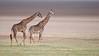 Giraffe Couple in Tanzania (Raymond J Barlow) Tags: africa art nature animal wildlife adventure giraffe d300 specanimalphotooftheday phototours raymondbarlowtours