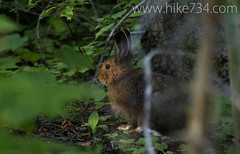 "Snowshoe Hare • <a style=""font-size:0.8em;"" href=""http://www.flickr.com/photos/63501323@N07/7756420160/"" target=""_blank"">View on Flickr</a>"