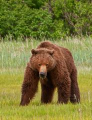 Don't Mess With Me (Amy Hudechek Photography) Tags: bear alaska nikon grizzly d300 katmainationalpark happyphotographer coastalbrownbear mygearandme mygearandmepremium mygearandmebronze highqualityanimals topphotospots tpsnature kaybayair