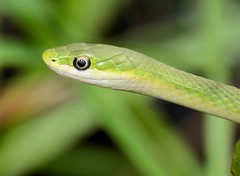 Green (Bill's 5 B's Plus) Tags: nature snake dpsgreen