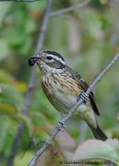 Female Rose Breasted Grosbeak (Sheldon Emberly) Tags: bird female grosbeak pictureperfect chokecherry fortwhytealive theenchantedcarousel nikond3000