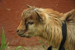 Wallie Gotye (MadisonBoratto) Tags: africa pet goat ghana operation groundswell sandema wallie