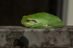 Rainette mridionale (Hyla meridionalis) (Le No) Tags: 31 grenouille hautegaronne midipyrnes amphibien hylameridionalis stlon lauragais collectionnerlevivantautrement rainettemridionale