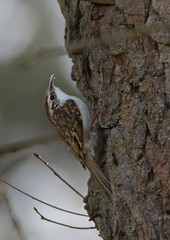 tree creeper (colin 1957) Tags: tree birds creeper canon40056