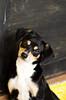 DSC_7533 (ByChance Traveler) Tags: cute puppy quizzical blackandbrown