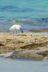ShoshanaBeach_2323_140329 (Savyoney Eitan) Tags: sea fish bird beach egret littleegret חוף ציפור דג לבניתקטנה לבנית