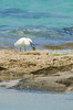 ShoshanaBeach_2323_140329 (Savyoney Eitan) Tags: sea fish bird beach egret littleegret חוף ציפור דג לבניתקטנה לבנית