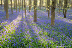 Sussex Bluebells (Nick Dautlich) Tags: uk flowers blue england bluebells sussex spring scenery britain country eng landscapeuk