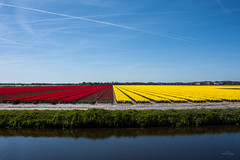 Colors of the Netherlands (Monika Kalczuga (v.busy)) Tags: flowers plant holland nature netherlands tulips outdoor flowerbed tulip flowerfields tulpen tulipfields tulipany dutchtulips