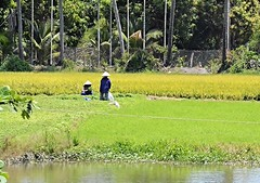Workers in a rice paddy (John Colclough) Tags: water workers colours rice paddy subtropical