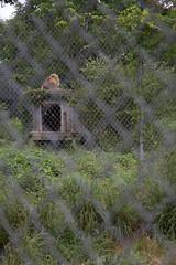 IMG_8236 (whereisjulie?) Tags: rescue tiger lion carolina cougar ocelot serval caracal kinkajou