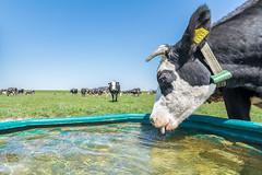 deze koe heeft dorst (Henk Huizenga) Tags: vee groningen koe koeien lauwersoog landen kaas landbouw biologisch grasland westpolder veeteelt melkkoeien