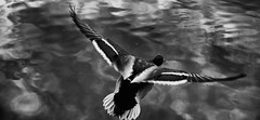 ...TakeOff... (7H3M4R713N) Tags: blackandwhite bw france reflection bird monochrome dark duck wings europe lyon wing fujifilm darkwater oiseau canard aile plumage colvert envol xt1 fujinonxf35mmf2