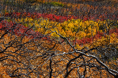 Life From Flames (Brian Truono Photography) Tags: travel autumn trees red foothills abstract mountains color green fall texture nature leaves yellow landscape gold utah colorful branches hills explore remains shrubs lasal charred castlevalley mantilasal