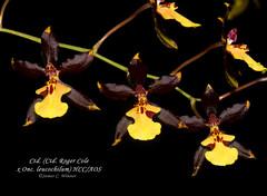 Cyrtocidium (Ctd. Roger Cole x Onc. leucochilum) HCC/AOS (Orchidelique) Tags: plant orchid nature exotic hybrid oncidium hcc aos odontocidium onc ctd leucochilum rogercole ncjc jdunkelberger odcdm cyrtocidium