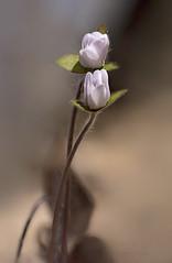 rose impostors (marianna armata) Tags: pink plant flower macro woodland spring flora bokeh fine anemone delicate wildflower fragile bokehwednesday mariannaarmata p2290107