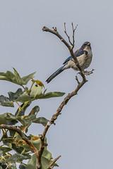Shadow Cliffs (May 15, 2016) (matxutca (cindy)) Tags: birds outdoors bluejay nesting nests pleasantonca shadowcliffs ebparksok