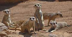 Suricatas en la Sabana (primavera 2016 en BIOPARC Valencia) (Bioparc Valencia) Tags: sabana suricatas bioparc bioparcvalencia