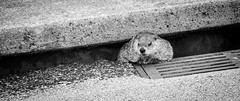 Groundhog (robert.j.bruner) Tags: woodchuck groundhog sewer