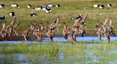 Ruffest Ruff Fest (Ger Bosma) Tags: male birds flying spring flock group flight males ruff springtime ruffs wadingbirds kemphaan philomachuspugnax combatente combatiente combattente kampflufer combattantvari brushane  hoants bojownikbatalion 2mg177855