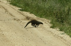 Mongoose (My photos live here) Tags: africa park canon eos elizabeth wildlife queen safari national uganda mongoose 1000d