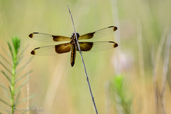 Dragonfly (xTexAnne) Tags: animal bug insect texas waco dragonfly lakewaco nikond7100 diannewhite