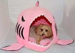 Shark Attack! #SharkWeek (yourdesignerdog) Tags: pink dog house cute dogs tongue wednesday out shark blog bed all designer wordpress teeth attack week posts celebrate wordless ifttt