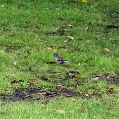 Day 6 10 Logan Botanic Garden Chaffinch (bob watt) Tags: uk june canon scotland 7d chaffinch 2016 18135mm loganbotanicgarden canoneos7d kirkcudbrightholidayjune2016