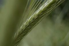 oro (C-Smooth) Tags: nikon vita oro grano csmooth d3100 stefanocabello