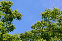 irohamomiji_dsc_3476 (takao-bw) Tags: plant japan maple japanesemaple
