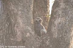 Young Mottled Woon Owl (Robbert met dubbel B) Tags: park wood india nature photography wildlife indian young natuur safari national owl april np juvenile mottled jonge 2016 indische nationaal wildlifephotography tadoba bosuil andhari juveniel juveniele wildfotografie