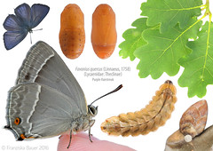 Life stages of the Purple Hairstreak butterfly (Franziska Bauer) Tags: butterfly oak quercus egg lepidoptera pupa metamorphosis metamorphose lycaenidae theclinae purplehairstreak eichenzipfelfalter favoniusquercus