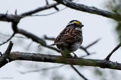 White-throated Sparrow, Bidgood's Park (frank.king2014) Tags: ca canada stjohns whitethroatedsparrow newfoundlandandlabrador