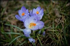 Offen fr alles (BM-Licht) Tags: germany bayern deutschland bavaria nikon pflanze blumen garten krokus penzberg d700