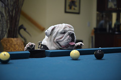 """ DON'T SINK THE BLACK.... JUST SAYING "" (DESPITE STRAIGHT LINES) Tags: dog playing pool animal nikon flickr play canine bulldog getty pooltable gettyimages d800 paulwilliams britishbulldog nikon2470mm nikkor2470mm nikond800 nikongp1 despitestraightlines despitestraightlinesatgettyimages gettyimagesesp"
